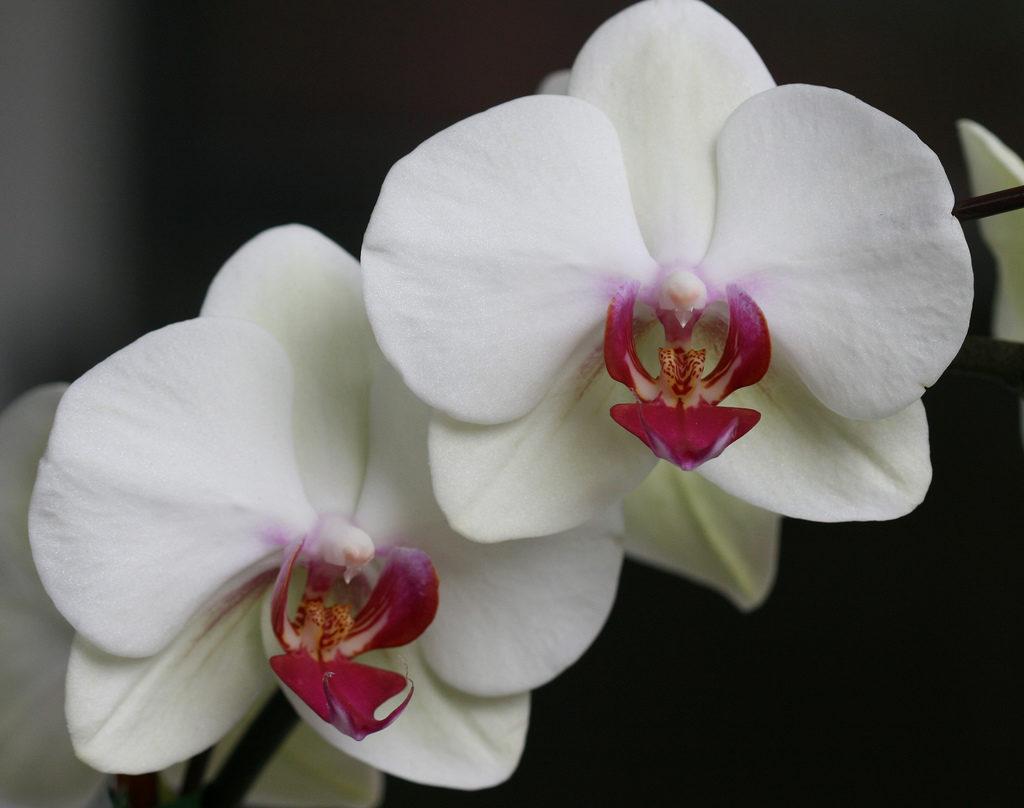 誕生日・出産祝いにお花やフラワーギフトを送るなら胡蝶蘭がおすすめ!